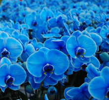 Load image into Gallery viewer, Blue Orchids (Phalaenopsis)