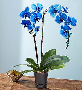 Blue Orchids (Phalaenopsis)