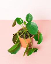 Load image into Gallery viewer, Chinese Money Plant (Pilea Peperomioides)