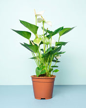 Load image into Gallery viewer, Flamingo Flower (Anthurium)
