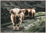 Highland  Cattle Canvas