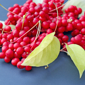 Ingredient Spotlight - Schisandra Chinensis