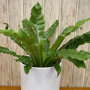 Asplenium Fern in Ceramic Pot