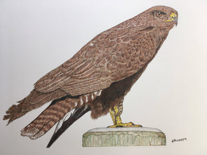Buzzard Mounted Print - A3