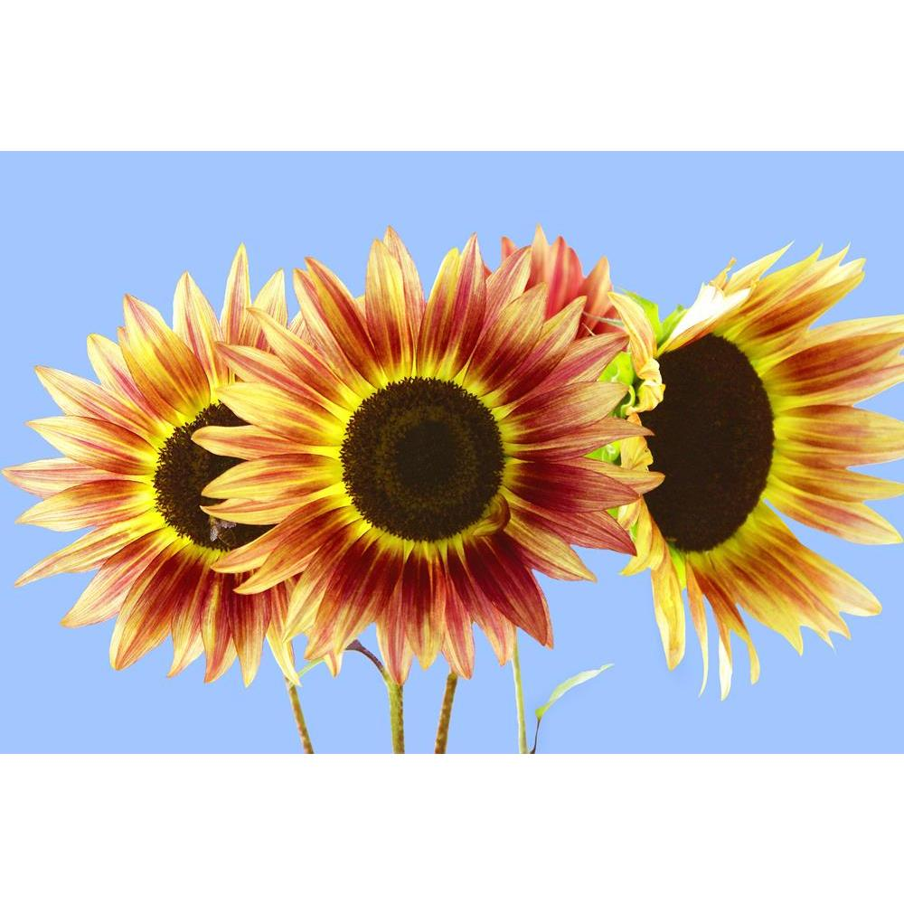 ArtzFolio Three Red Yellow Sunflowers On Blue Peel & Stick Vinyl Wall Sticker-Laminated Wall Stickers-AZ5005780ART_UN_RF_R-0-Image Code 5005780 Vishnu Image Folio Pvt Ltd, IC 5005780, ArtzFolio, Laminated Wall Stickers, Floral, Photography, three, red, yellow, sunflowers, on, blue, peel, stick, vinyl, wall, sticker, for, bedroom, large, size, decal, drawing, room, living, decorative, big, waterproof, home, office, reception, pitaara, box, designer, prints, kids, pvc, amazonbasics, washable, abstract, self,
