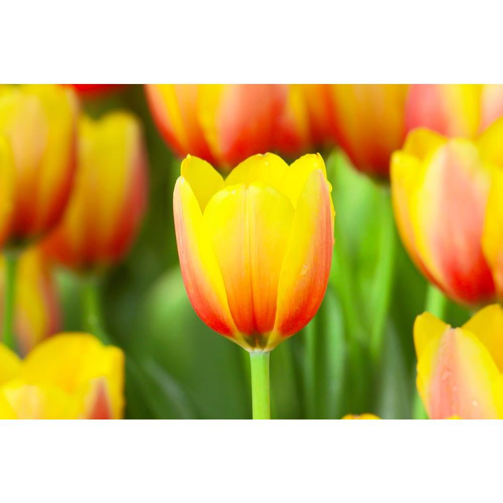 ArtzFolio Photo of Tulips With a Drop Of Water Peel & Stick Vinyl Wall Sticker-Laminated Wall Stickers-AZ5005790ART_UN_RF_R-0-Image Code 5005790 Vishnu Image Folio Pvt Ltd, IC 5005790, ArtzFolio, Laminated Wall Stickers, Floral, Photography, photo, of, tulips, with, a, drop, water, peel, stick, vinyl, wall, sticker, for, bedroom, large, size, decal, drawing, room, living, decorative, big, waterproof, home, office, reception, pitaara, box, designer, prints, kids, pvc, amazonbasics, washable, abstract, self,