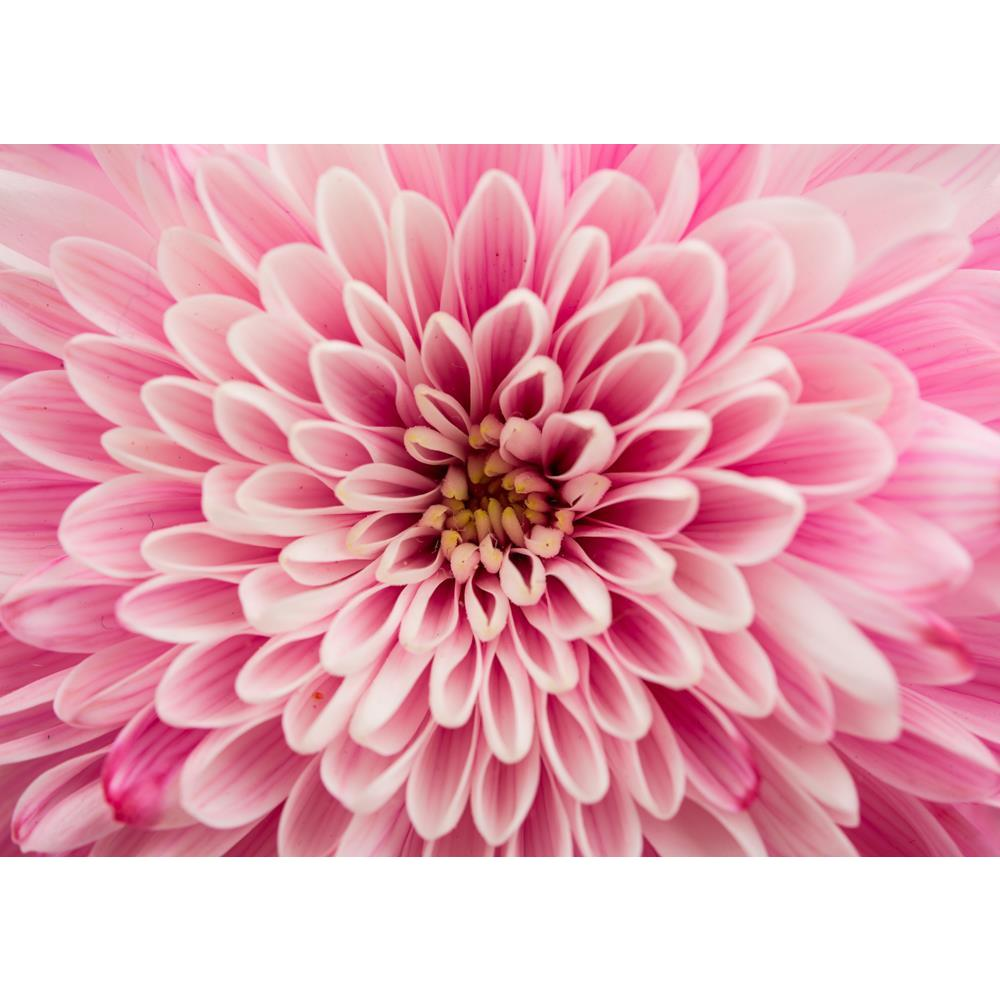 ArtzFolio Close Up of Chrysanthemum Flower Unframed Premium Canvas Painting-Paintings Unframed Premium-AZ5007006ART_UN_RF_R-0-Image Code 5007006 Vishnu Image Folio Pvt Ltd, IC 5007006, ArtzFolio, Paintings Unframed Premium, Floral, Photography, close, up, of, chrysanthemum, flower, unframed, premium, canvas, painting, large, size, print, wall, for, living, room, without, frame, decorative, poster, art, pitaara, box, drawing, amazonbasics, big, kids, designer, office, reception, reprint, bedroom, panel, pane