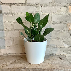 "Load image into Gallery viewer, 6"" Ficus Audrey"