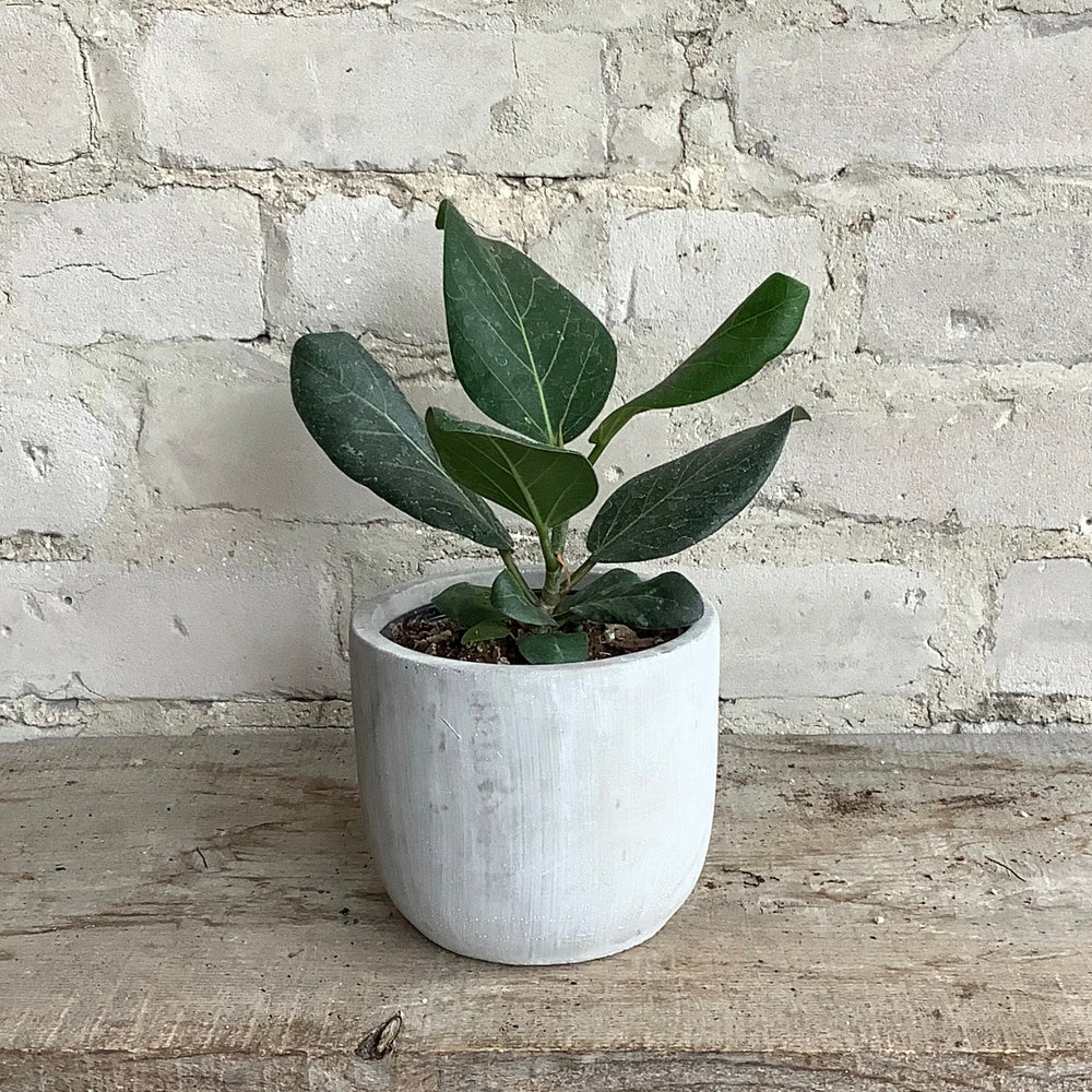 "Load image into Gallery viewer, 4"" Ficus Audrey"