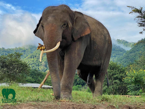 Rescued elephant Chiang Mai Thailand