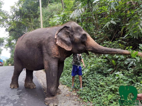Trainer walking rescued elephant in Chiang Mai Thailand