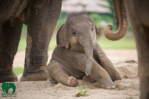Baby Wan Mai at Elephant Nature Park in Thailand