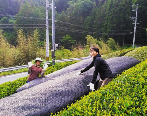 Covering Matcha leaves before harvest in Kyoto Japan