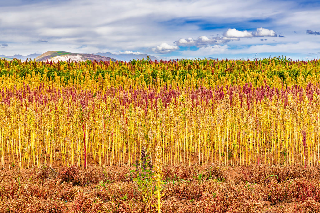 Quinoa Field in the Andes Mountains | Andean Dream Quinoa Products