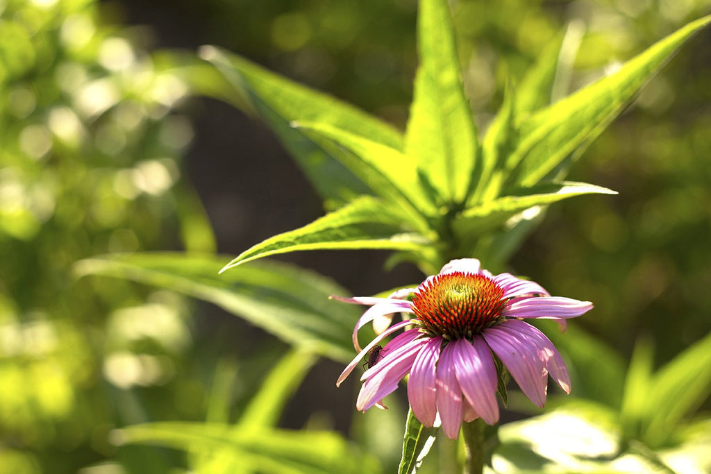 Herb Pharm® Super Echinacea® - Christopher's Herb Shop