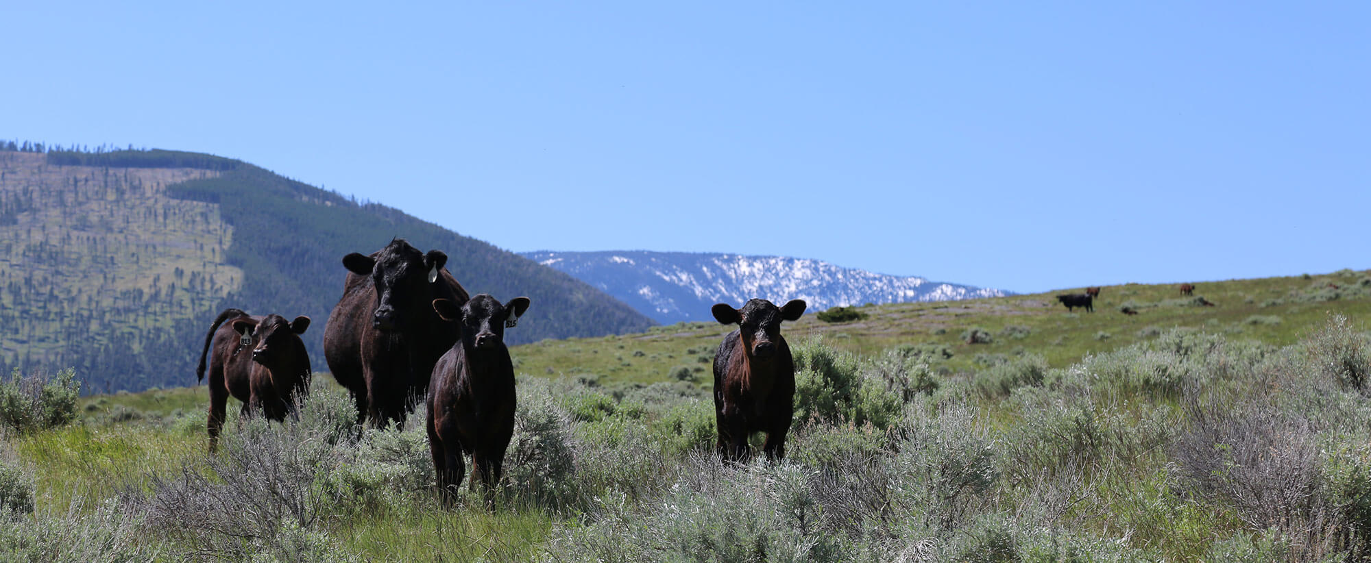 Hay Mama Pastured Raised Cattle Beef