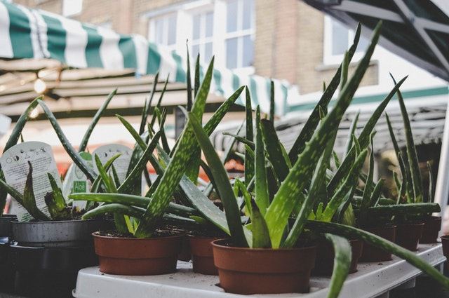Aloe Vera: Benefits, Sources, and More!