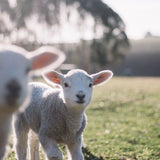 A close-up shot of two lambs looking at the viewer