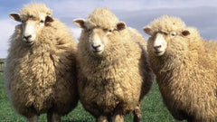 three sheep standing side by side