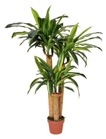 Artificial Dracaena Fragrans (Corn Plant) 130cm Multiple Stems