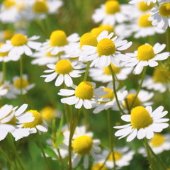 organic chamomile growing in a field