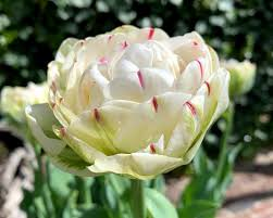Tulipe Double Danceline