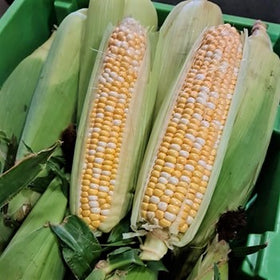 Sweet Corn 1pc