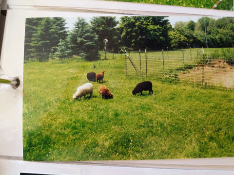 Our First flock of shetland sheep