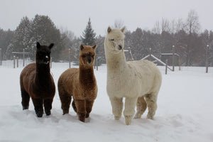The first winter of a cria's life they get to experience snow.  Not to worry though they are not cold under all that warm fleece.