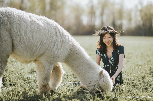 This beautiful white alpaca is in full fleece.  She loves eating grass in her pasture even while having her picture taken with a friend.
