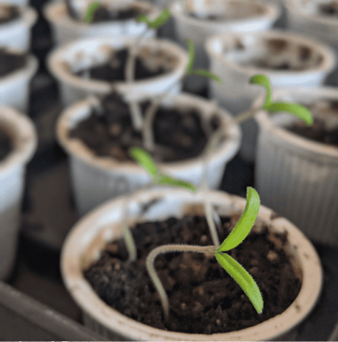 How to Use Coffee Pods as Seed Starters