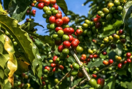 Don't Panic, It's Organic: The Perks of Organic Coffee