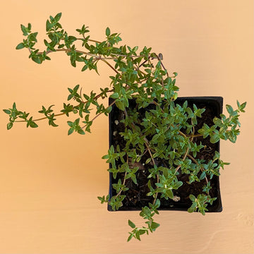 Thyme, Common (English)
