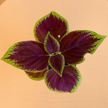 Flowering Coleus, Rainbow Mix