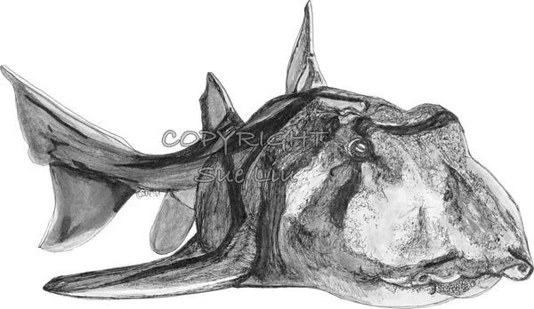 Shark - Jackson the Port Jackson Shark