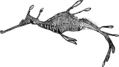 Weedy Sea Dragon - Jennifer the Weedy Sea Dragon