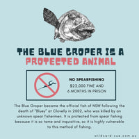Blue Groper - Meg the Blue Groper