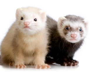 sandy champagne ferret and standard sable ferret