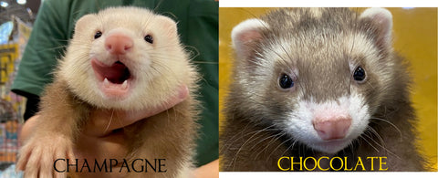 champagne sandy ferret and chocolate ferret