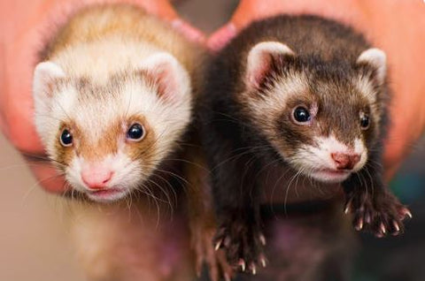 cinnamon and sable ferrets
