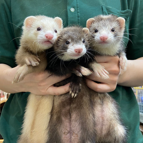 3 ferrets with different colors