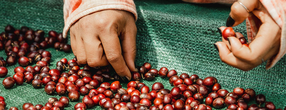 Hands picking coffee