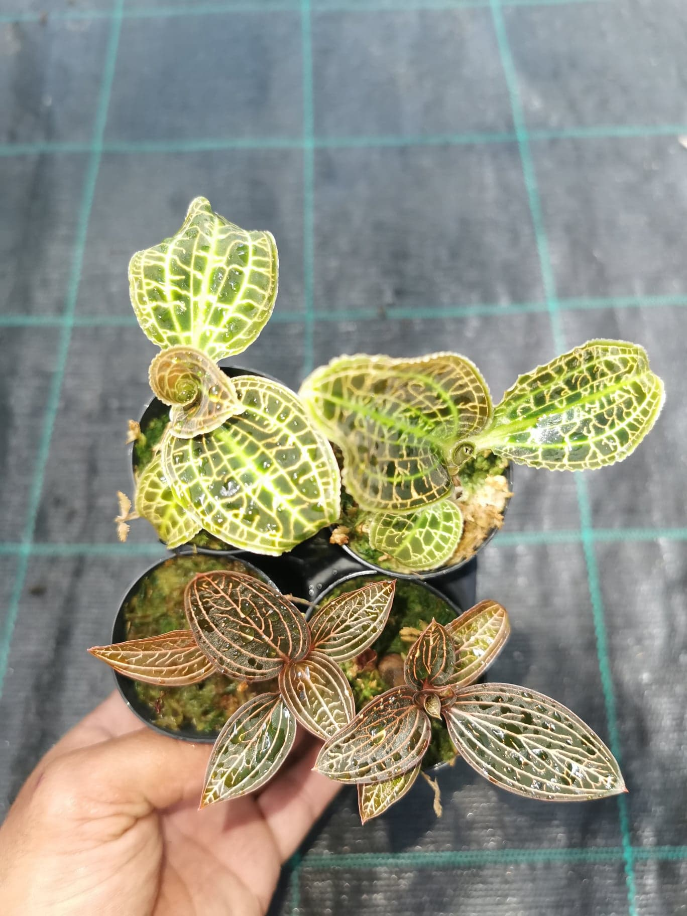 Jewel Orchid 4 pack