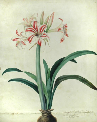 BURY, Priscilla Susan Falkner (1799–1872). Amaryllis Superba. Brazil (imported bulb) at Mrs. Arnold Harrison's 21st April, 1828.