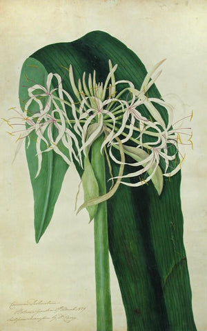 BURY, Priscilla Susan Falkner (1799–1872). Crinum Declinaturm. Botanic Gardens 27th March 1829.