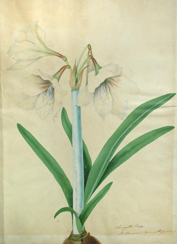 BURY, Priscilla Susan Falkner (1799–1872). Amaryllis Picta. R. Harrison's Esquire 16th April 1829.