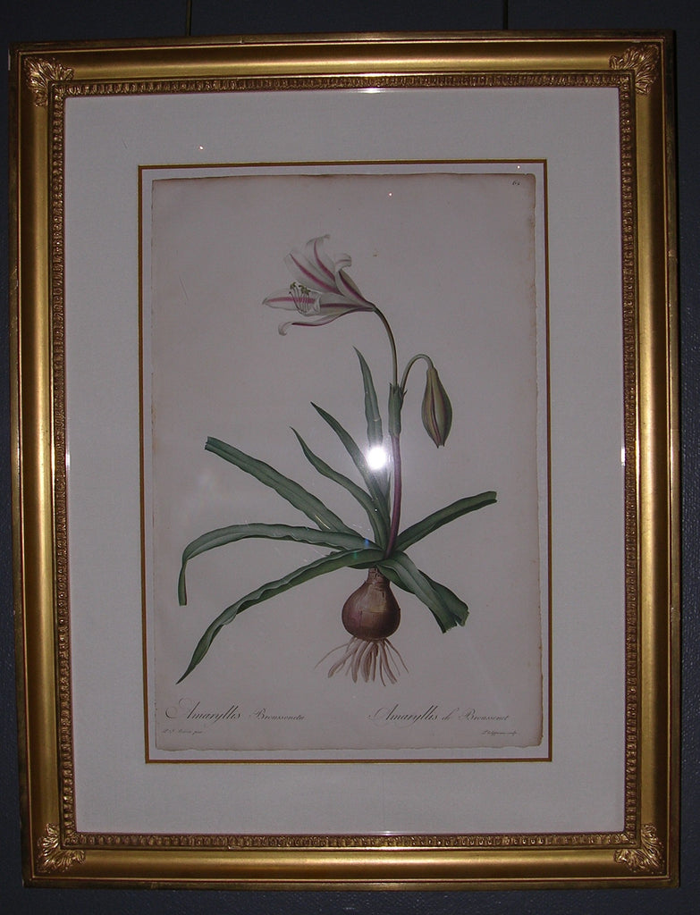 "REDOUTE, Pierre-Joseph (1759-1840). Amaryllis Broussonetii – Amaryllis de Broussonet. From ""Les Liliacées."" Paris: Imprimerie de Didot jeune, for the author, 1802-1816."