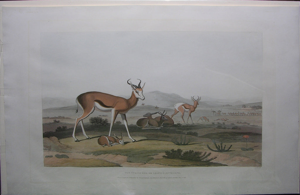 DANIELL, Samuel (1775-1811). The Spring-bok, or Leaping Antelope. London: Samuel Daniell, 1805.