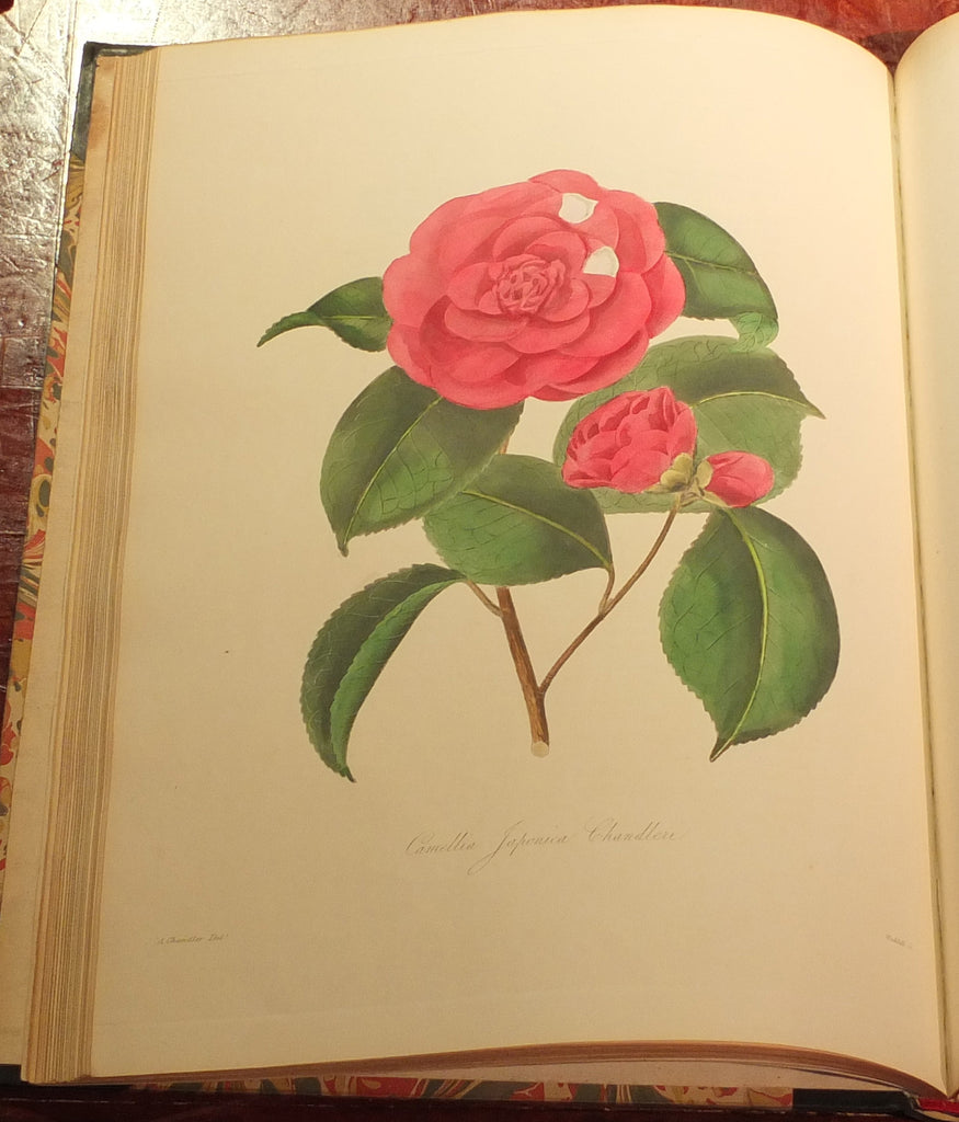 CHANDLER, Alfred (1804-1896) – William Beattie BOOTH (?1804-1874). Illustrations and Descriptions of the Plants which Compose the Natural Order Camellieae… London: John and Arthur Arch, 1831.