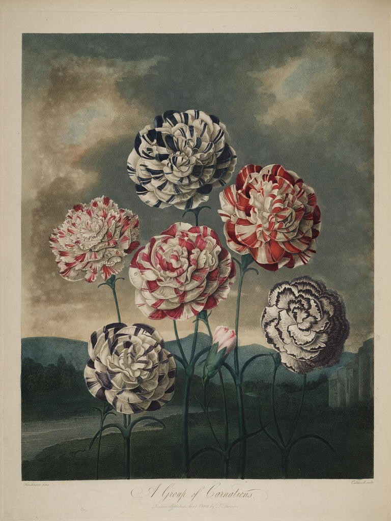 THORNTON, Dr. Robert John (1768 – 1837) Plate 08, A Group Of Carnations
